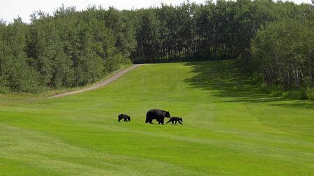 Waterton Lake National Park Golf Course Bears on Green